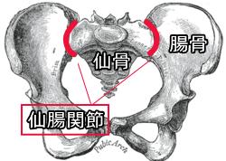 骨盤/椎間関節イメージ画像/仙腸関節性腰痛