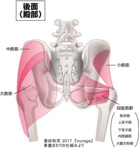 股関節の構造/股関節まわりの筋肉/イメージ画像/後面